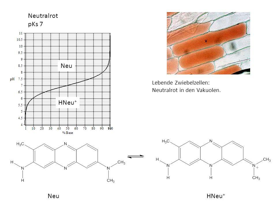 Neutralrot pKs 7 Lebende Zwiebelzellen: Neutralrot in den Vakuolen. NeuHNeu + Neu
