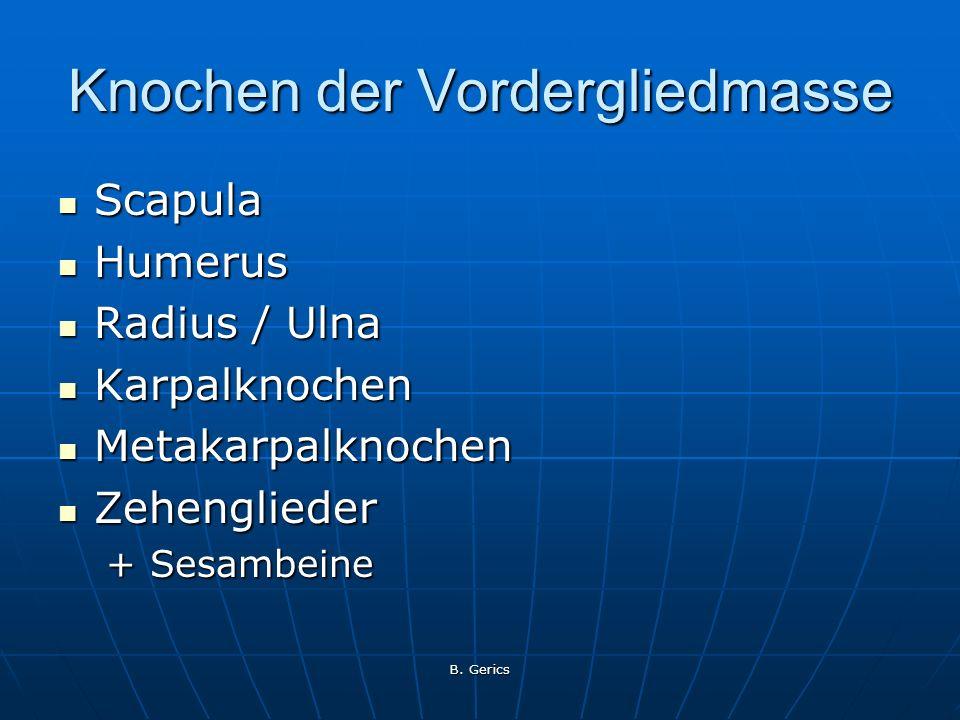 B. Gerics Knochen der Vordergliedmasse Scapula Scapula Humerus Humerus Radius / Ulna Radius / Ulna Karpalknochen Karpalknochen Metakarpalknochen Metak
