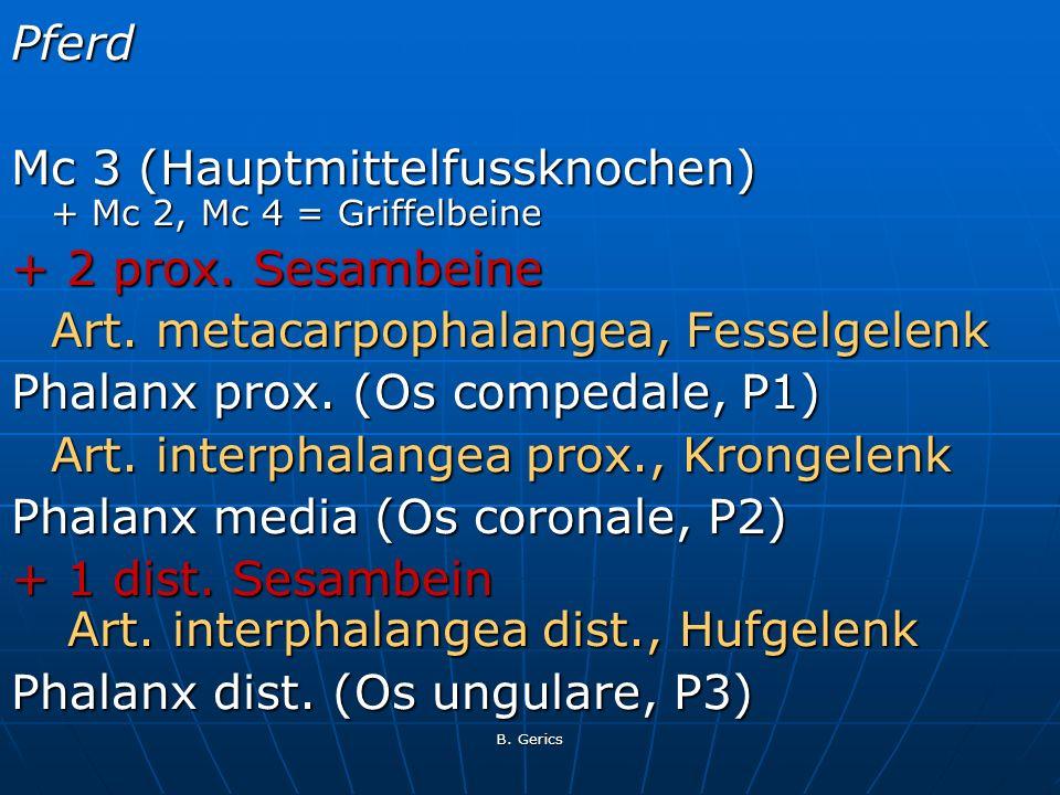 Pferd Mc 3 (Hauptmittelfussknochen) + Mc 2, Mc 4 = Griffelbeine + 2 prox. Sesambeine Art. metacarpophalangea, Fesselgelenk Phalanx prox. (Os compedale