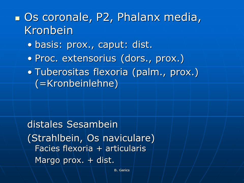 B. Gerics Os coronale, P2, Phalanx media, Kronbein Os coronale, P2, Phalanx media, Kronbein basis: prox., caput: dist.basis: prox., caput: dist. Proc.