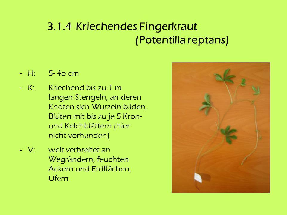 3.1.4Kriechendes Fingerkraut (Potentilla reptans) - H:5- 4o cm - K: Kriechend bis zu 1 m langen Stengeln, an deren Knoten sich Wurzeln bilden, Blüten
