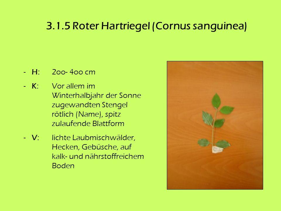 3.1.5 Roter Hartriegel (Cornus sanguinea) - H: 2oo- 4oo cm - K: Vor allem im Winterhalbjahr der Sonne zugewandten Stengel rötlich (Name), spitz zulauf