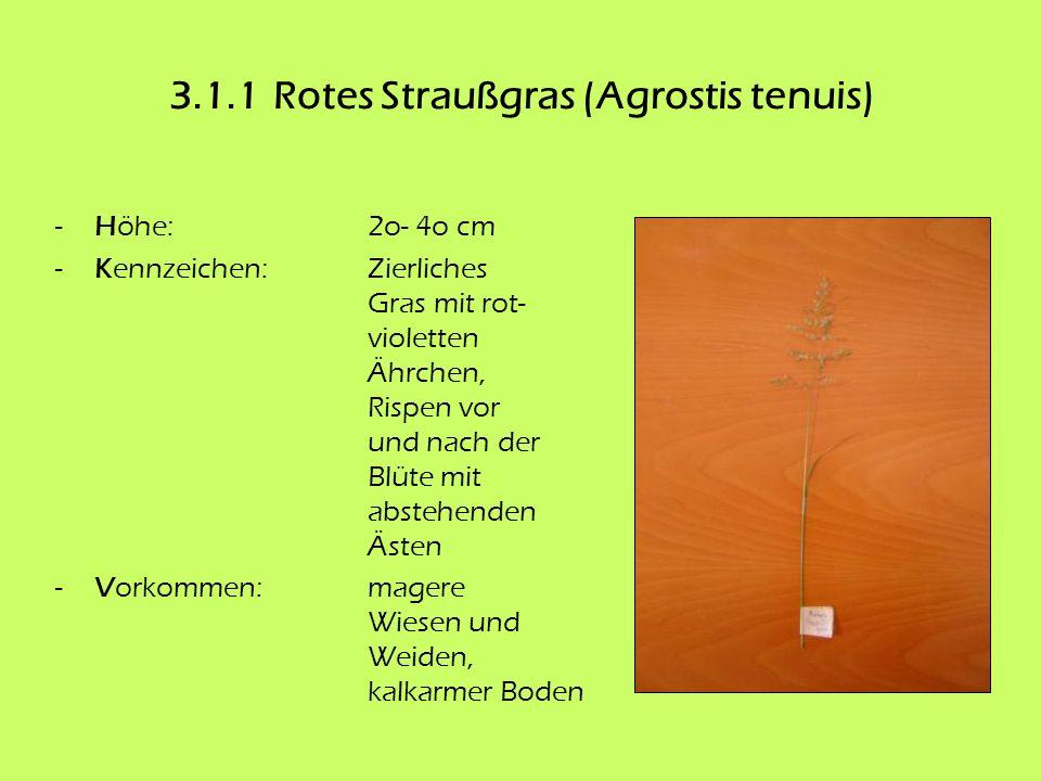 3.1.1Rotes Straußgras (Agrostis tenuis) -Höhe:2o- 4o cm -Kennzeichen:Zierliches Gras mit rot- violetten Ährchen, Rispen vor und nach der Blüte mit abs