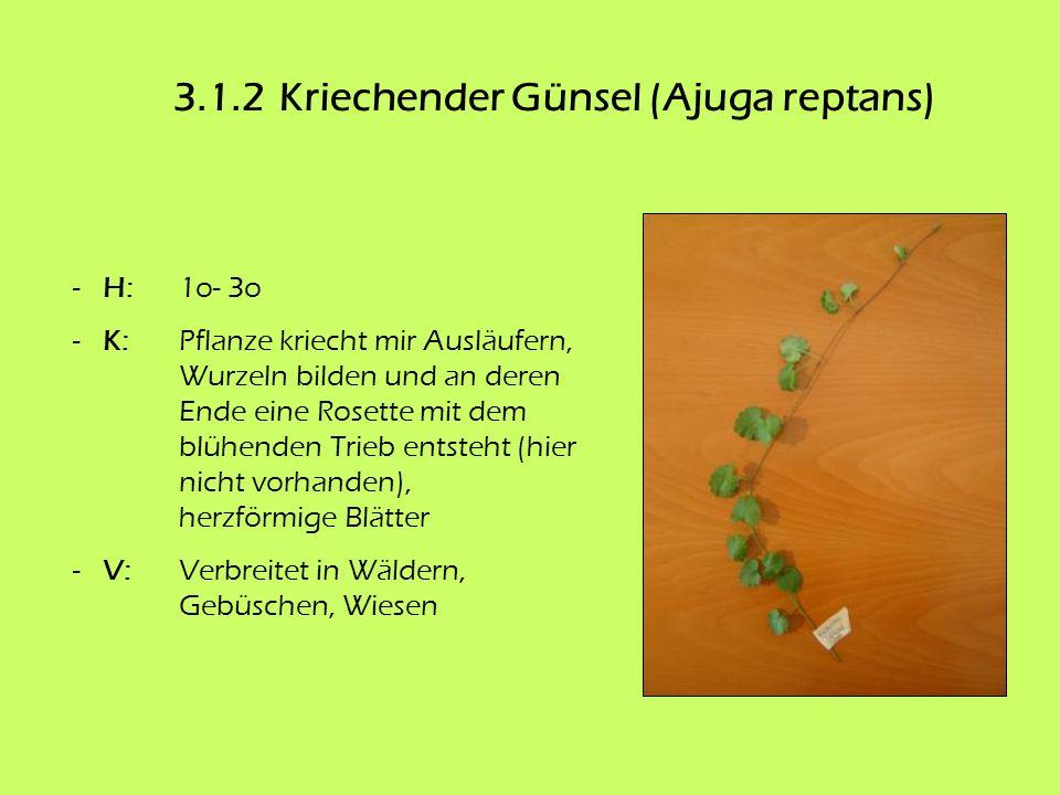 3.1.2Kriechender Günsel (Ajuga reptans) - H:1o- 3o - K:Pflanze kriecht mir Ausläufern, Wurzeln bilden und an deren Ende eine Rosette mit dem blühenden