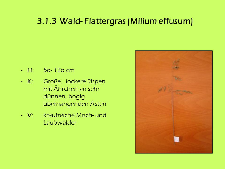 3.1.3Wald- Flattergras (Milium effusum) - H: 5o- 12o cm - K: Große, lockere Rispen mit Ährchen an sehr dünnen, bogig überhängenden Ästen - V: krautrei