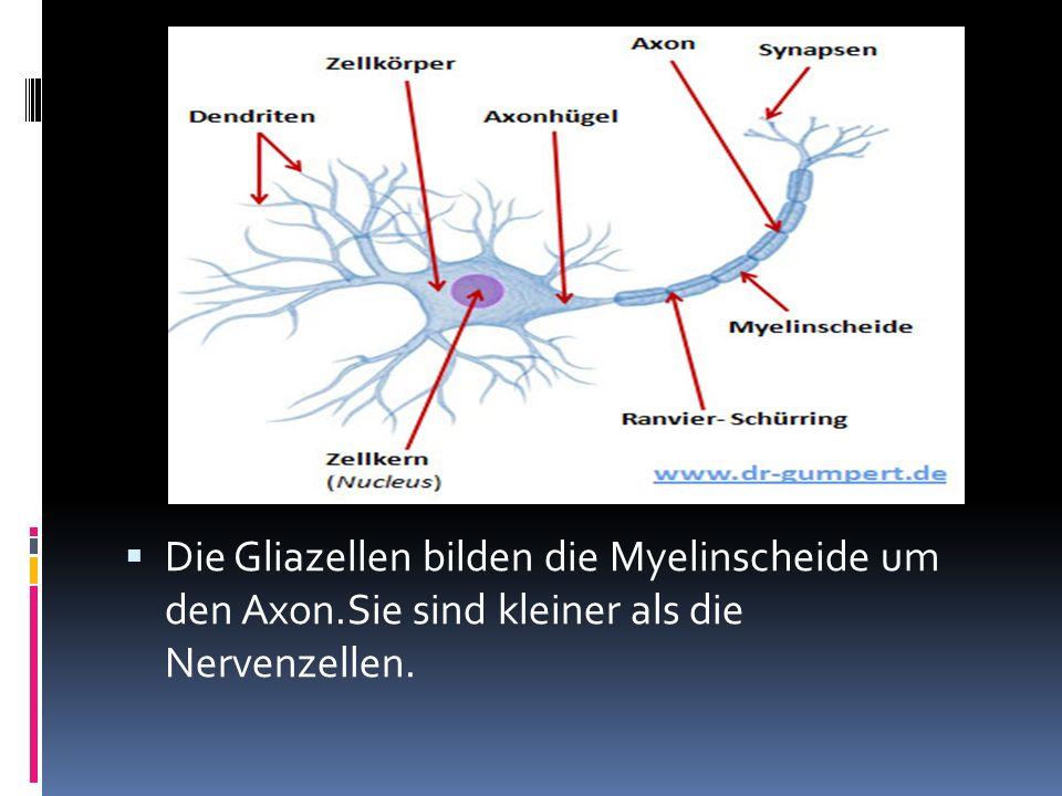 Die Gliazellen bilden die Myelinscheide um den Axon.Sie sind kleiner als die Nervenzellen.