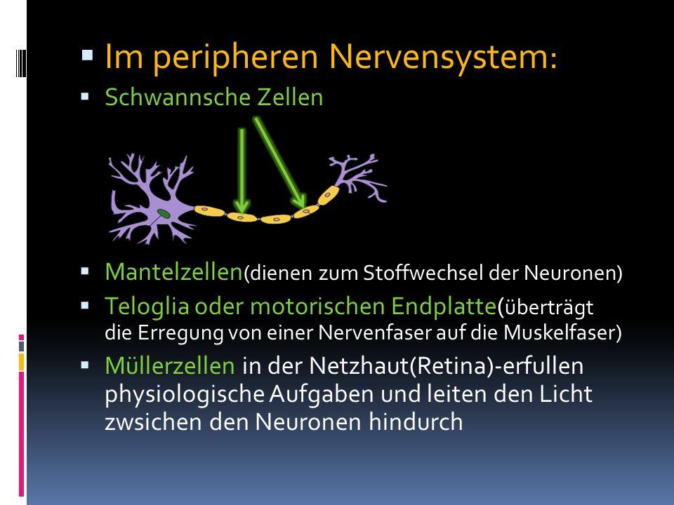 Im peripheren Nervensystem: Schwannsche Zellen Mantelzellen (dienen zum Stoffwechsel der Neuronen) Teloglia oder motorischen Endplatte( überträgt die