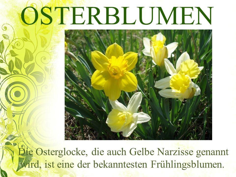 OSTERBLUMEN Die Osterglocke, die auch Gelbe Narzisse genannt wird, ist eine der bekanntesten Frühlingsblumen.