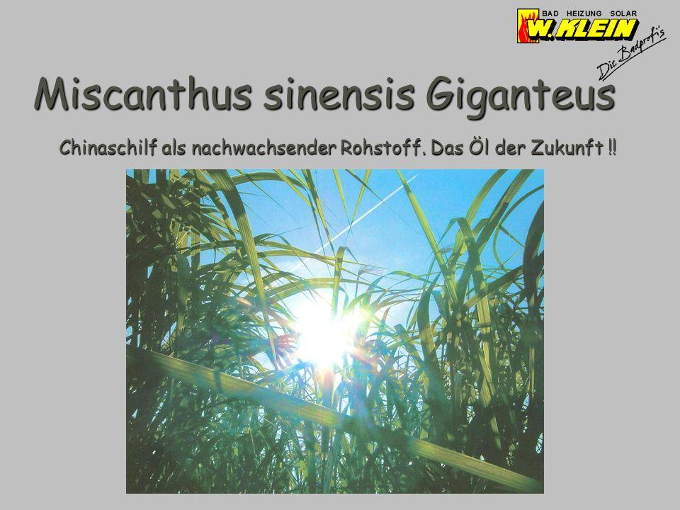 Miscanthus sinensis Giganteus Chinaschilf als nachwachsender Rohstoff. Das Öl der Zukunft !!