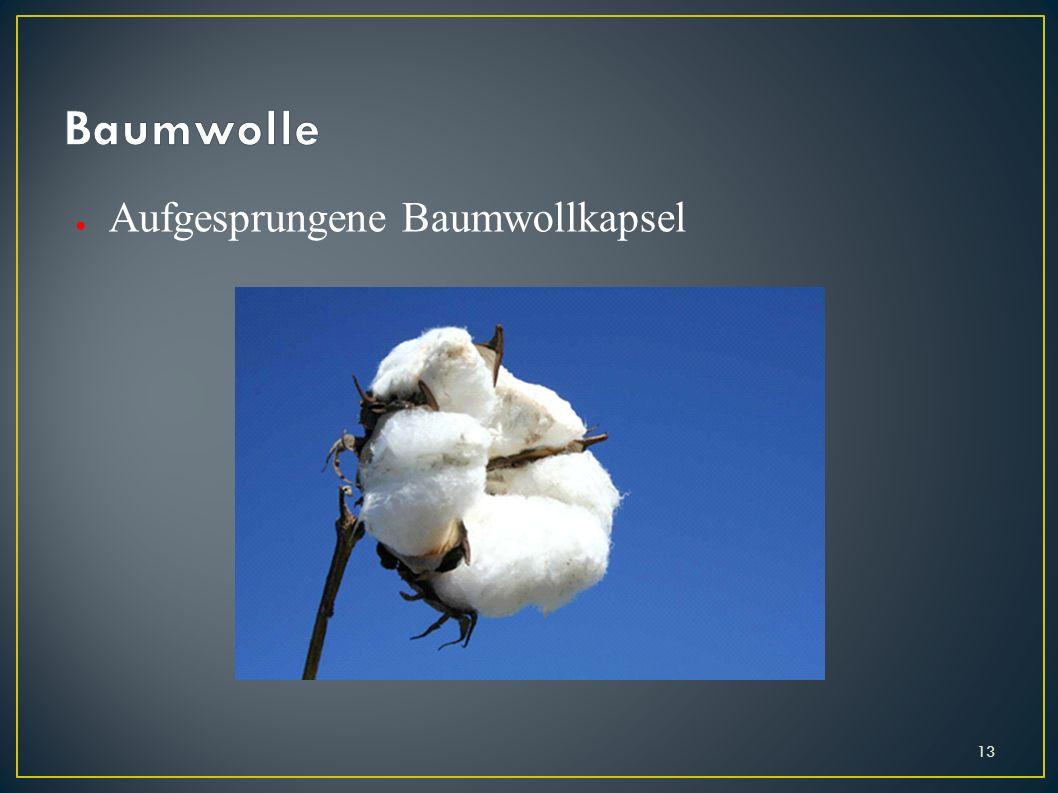 Aufgesprungene Baumwollkapsel 13
