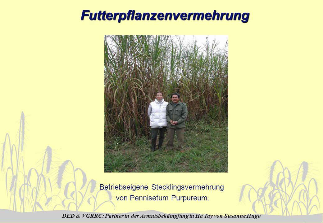 DED & VGRRC: Partner in der Armutsbekämpfung in Ha Tay von Susanne HugoFutterpflanzenvermehrung Betriebseigene Stecklingsvermehrung von Pennisetum Pur