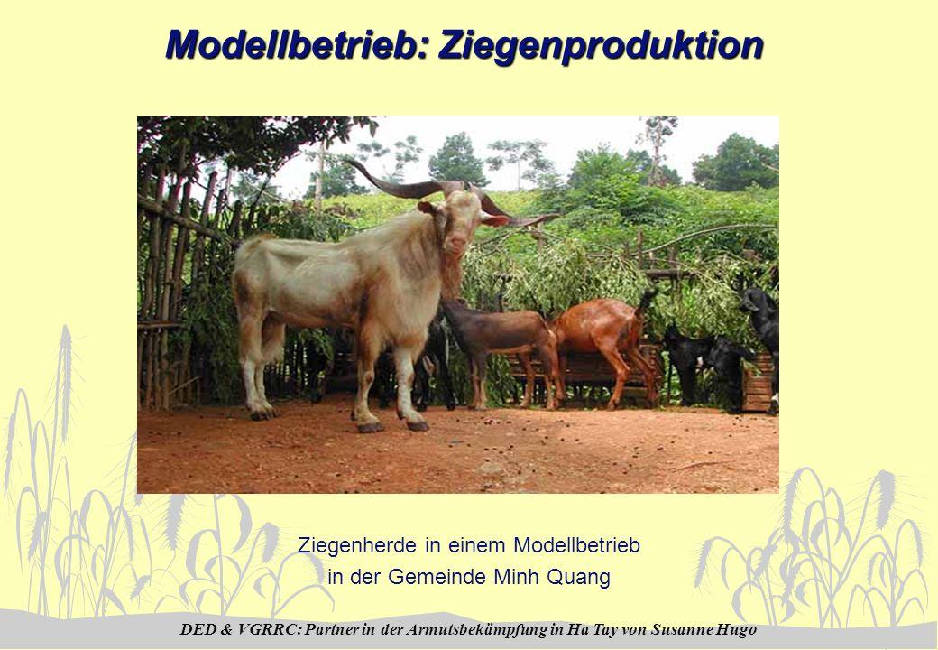 DED & VGRRC: Partner in der Armutsbekämpfung in Ha Tay von Susanne Hugo Modellbetrieb: Ziegenproduktion Ziegenherde in einem Modellbetrieb in der Geme