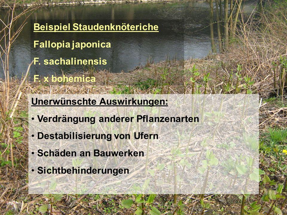 Beispiel Staudenknöteriche Fallopia japonica F. sachalinensis F. x bohemica Unerwünschte Auswirkungen: Verdrängung anderer Pflanzenarten Destabilisier