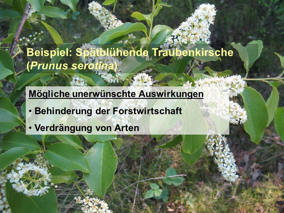 Beispiel: Spätblühende Traubenkirsche (Prunus serotina) Mögliche unerwünschte Auswirkungen Behinderung der Forstwirtschaft Verdrängung von Arten