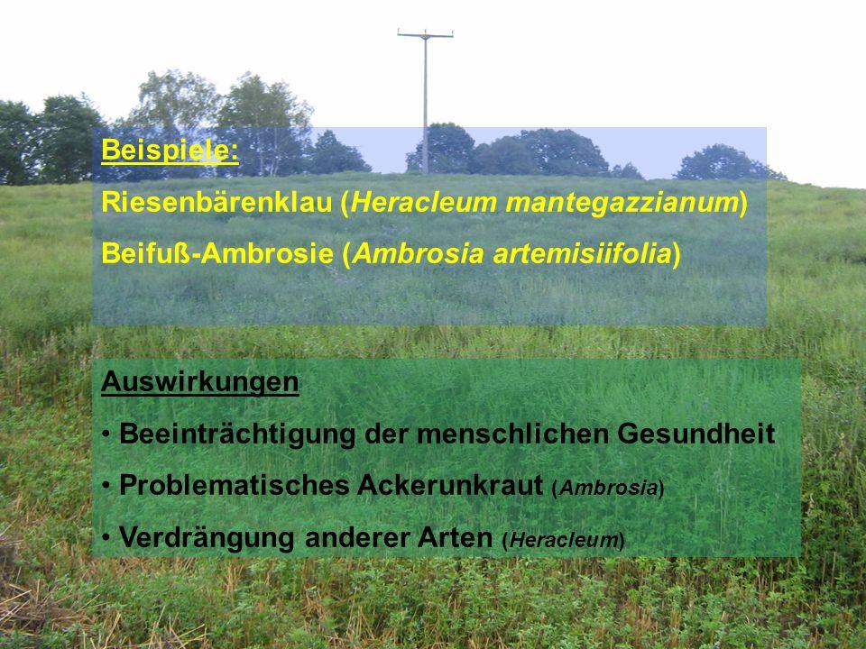 Beispiele: Riesenbärenklau (Heracleum mantegazzianum) Beifuß-Ambrosie (Ambrosia artemisiifolia) Auswirkungen Beeinträchtigung der menschlichen Gesundh