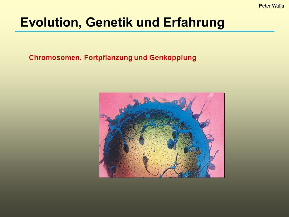Evolution, Genetik und Erfahrung Entscheidende Entdeckung: Gene sind auf Chromosomen lokalisiert.
