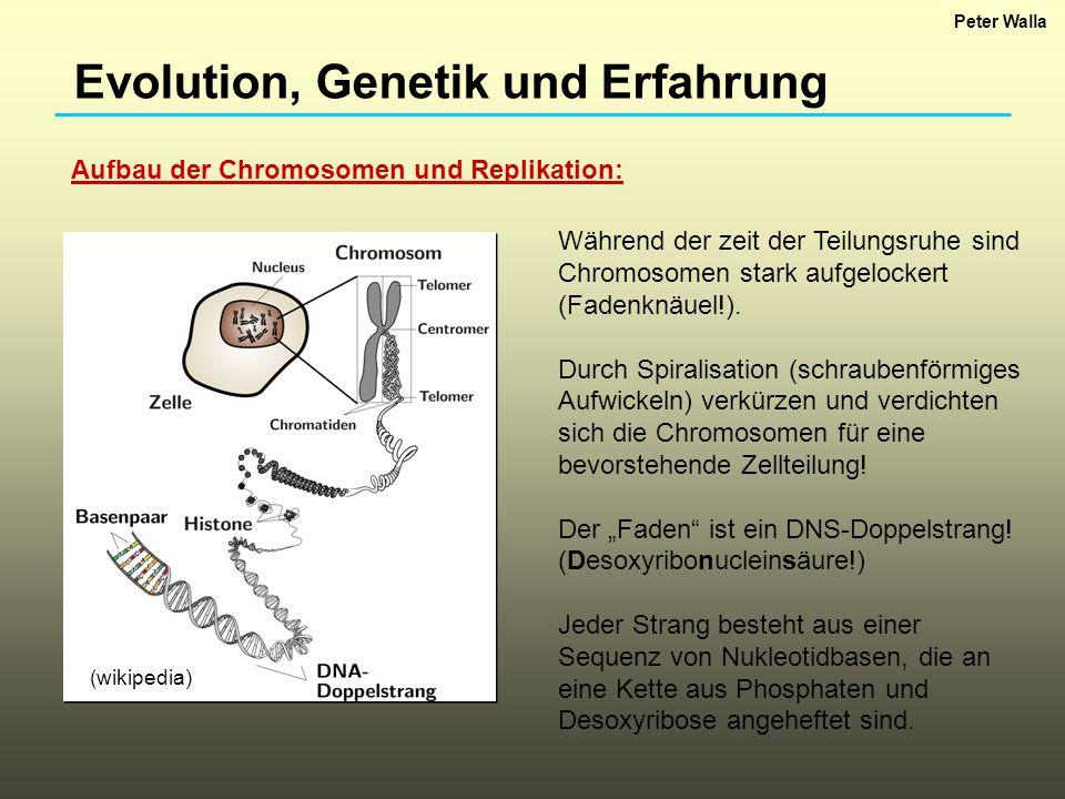 Evolution, Genetik und Erfahrung Aufbau der Chromosomen und Replikation: Während der zeit der Teilungsruhe sind Chromosomen stark aufgelockert (Fadenk