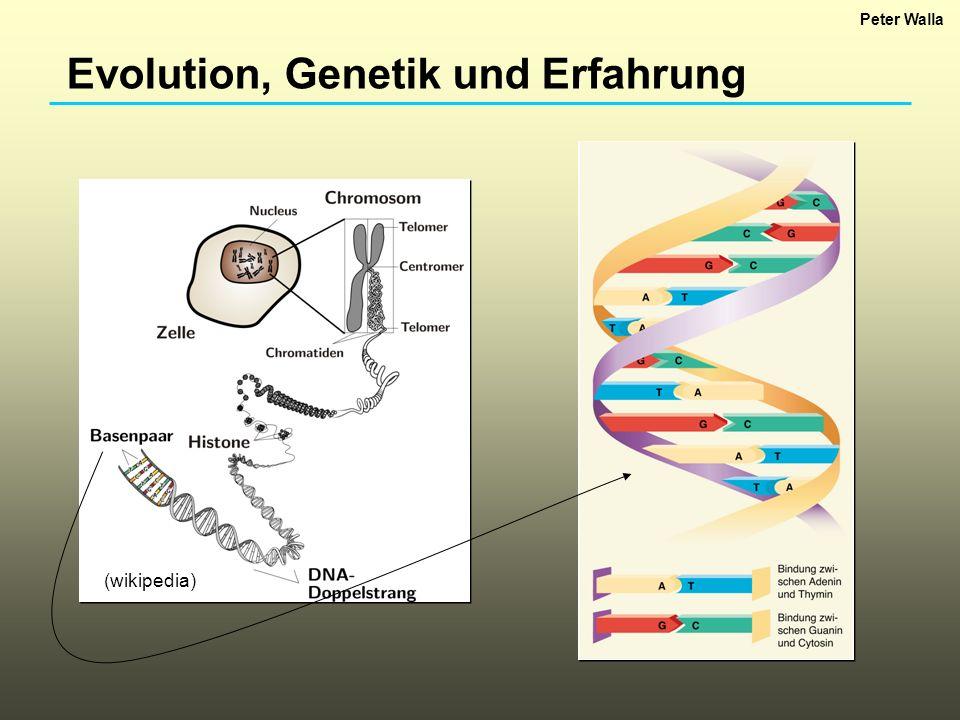 Evolution, Genetik und Erfahrung (wikipedia) Peter Walla