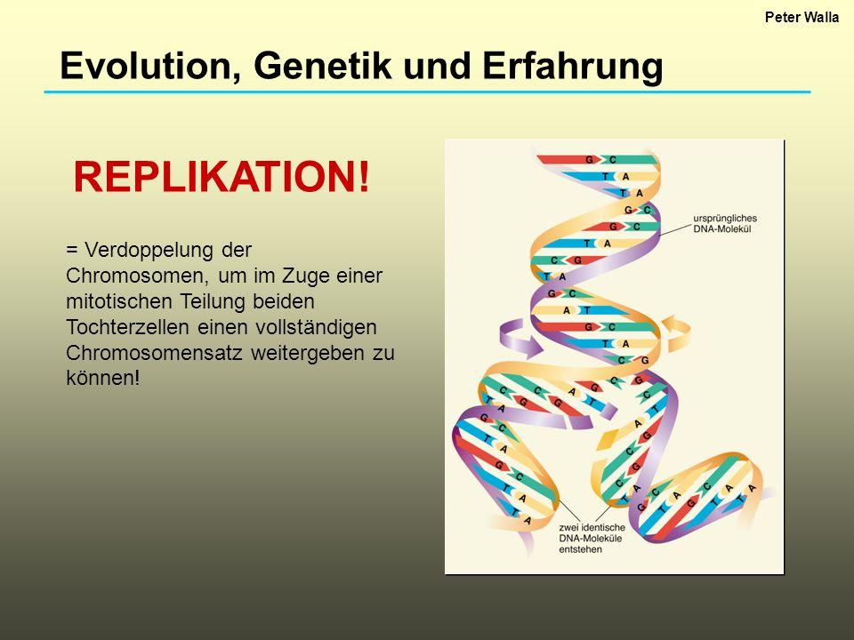 Evolution, Genetik und Erfahrung REPLIKATION! = Verdoppelung der Chromosomen, um im Zuge einer mitotischen Teilung beiden Tochterzellen einen vollstän