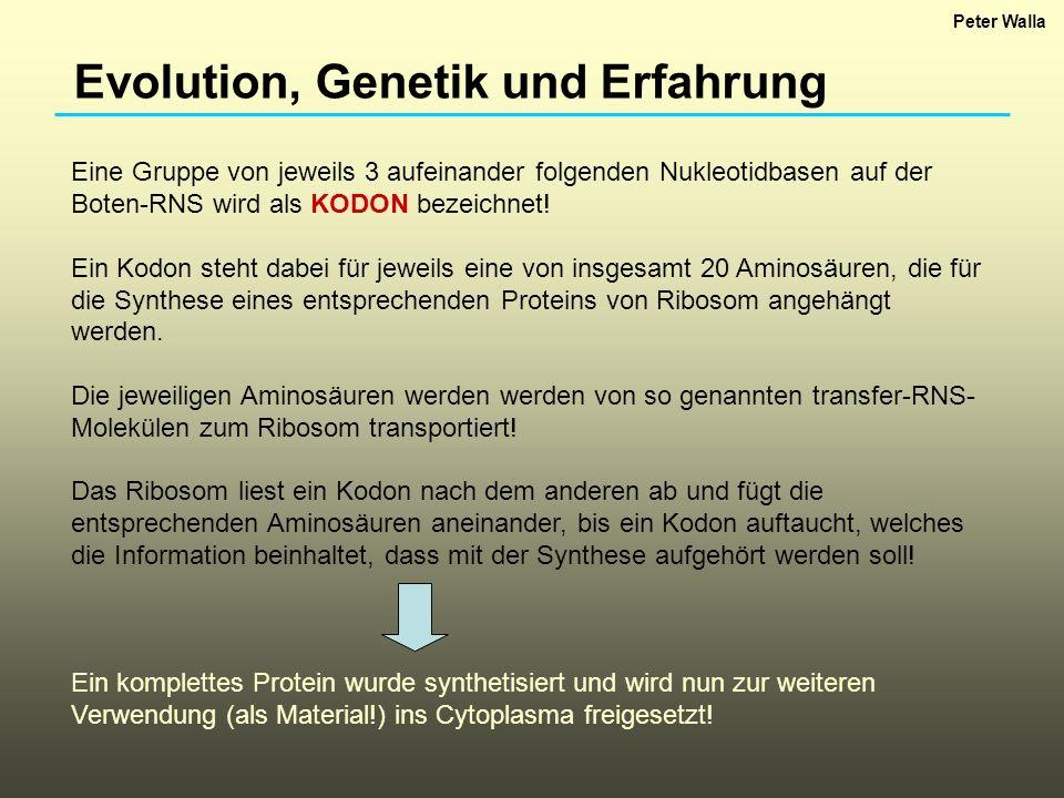 Evolution, Genetik und Erfahrung Eine Gruppe von jeweils 3 aufeinander folgenden Nukleotidbasen auf der Boten-RNS wird als KODON bezeichnet! Ein Kodon