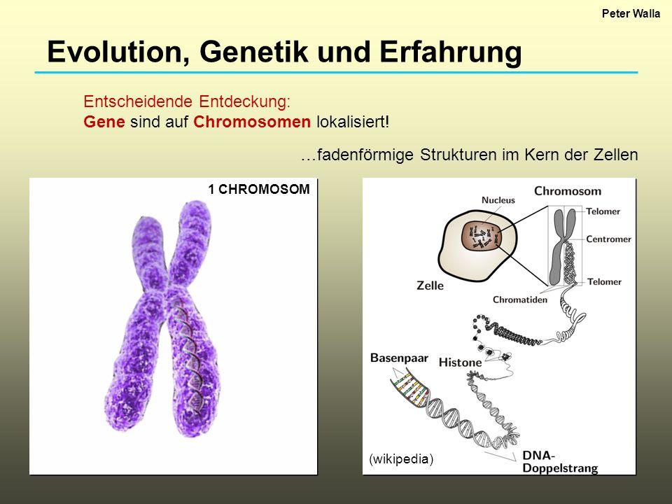 Evolution, Genetik und Erfahrung Entscheidende Entdeckung: Gene sind auf Chromosomen lokalisiert! 1 CHROMOSOM …fadenförmige Strukturen im Kern der Zel