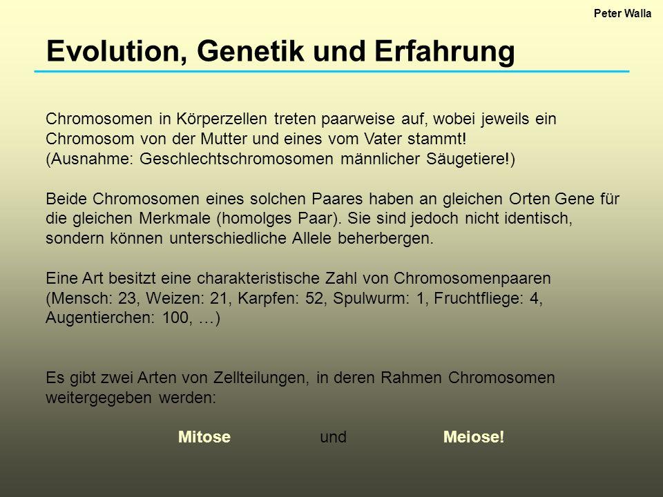 Evolution, Genetik und Erfahrung Mitose: Prozess der Zellteilung, der zu Organismus-Wachstum führt.