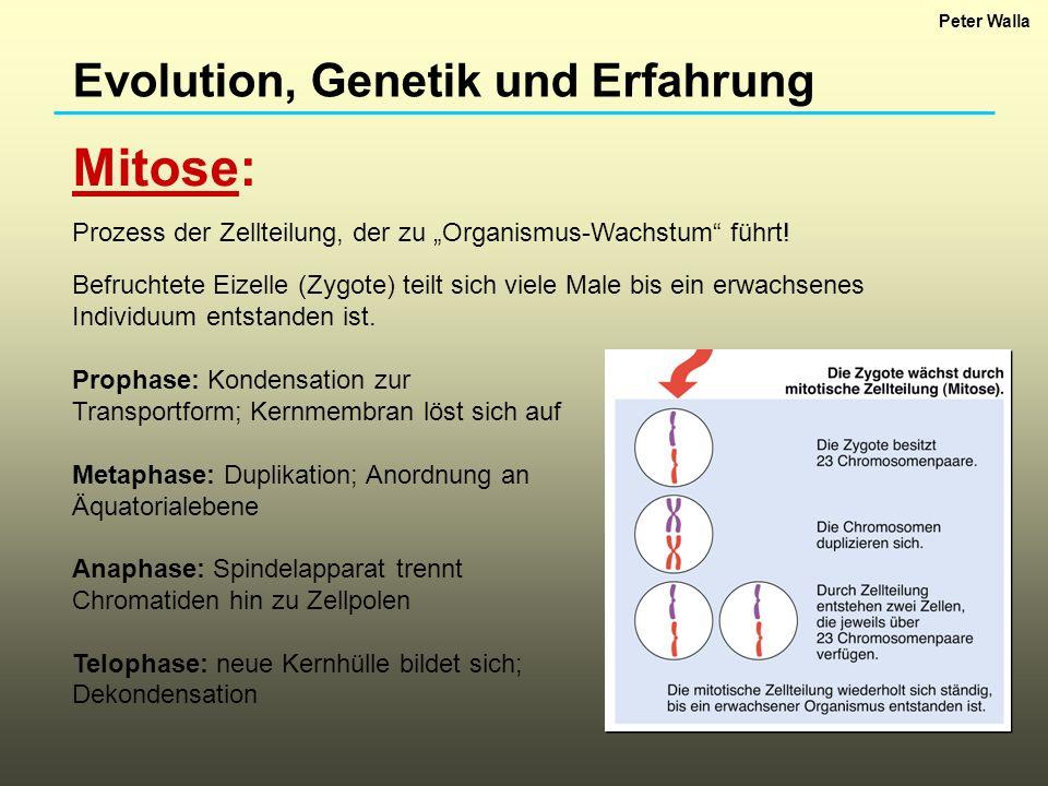 Evolution, Genetik und Erfahrung Meiose: Eine Eizelle ist eine Zelle, die nur einen durchmischten Mutterchromosomensatz hat.