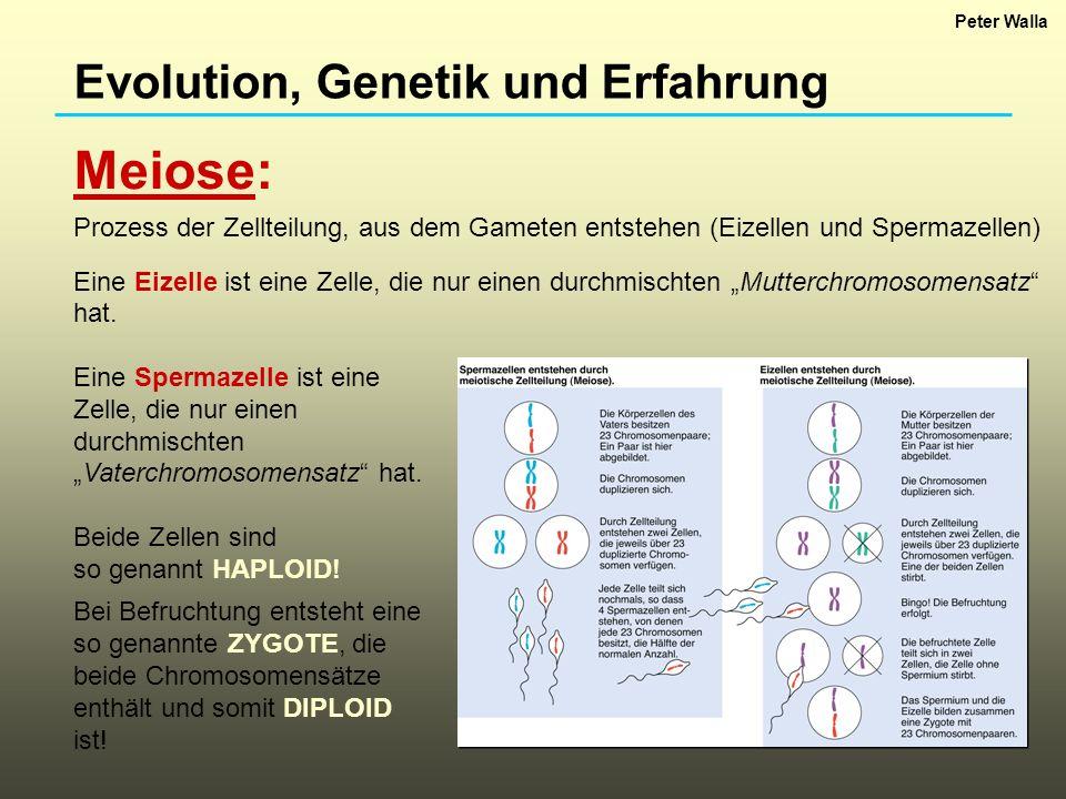Evolution, Genetik und Erfahrung Genetischer Kode und Genexpression: Organismen (samt ihren Geweben, Organen, etc.) sind zum Großteil aus Proteinen aufgebaut (Bausteine!).