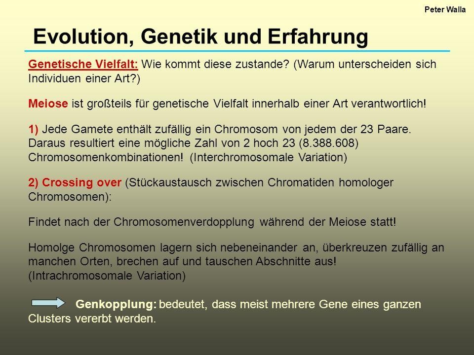 Evolution, Genetik und Erfahrung Verschiedene Arten von Genen: Strukturgene sind diejenigen Gene, die die notwendige Information für die Synthese eines Proteins enthalten.