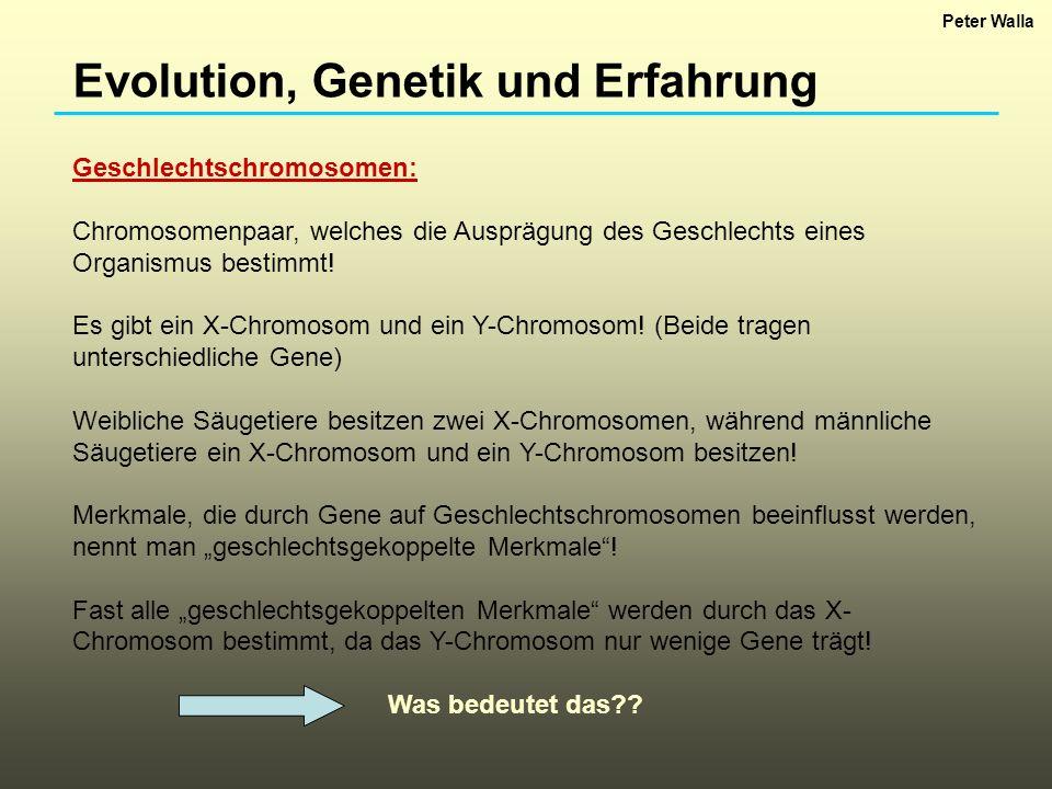 Evolution, Genetik und Erfahrung Das bedeutet, dass Merkmale, die durch Gene auf dem X-Chromosom bestimmt werden, bei einem Geschlecht häufiger auftreten als beim anderen.