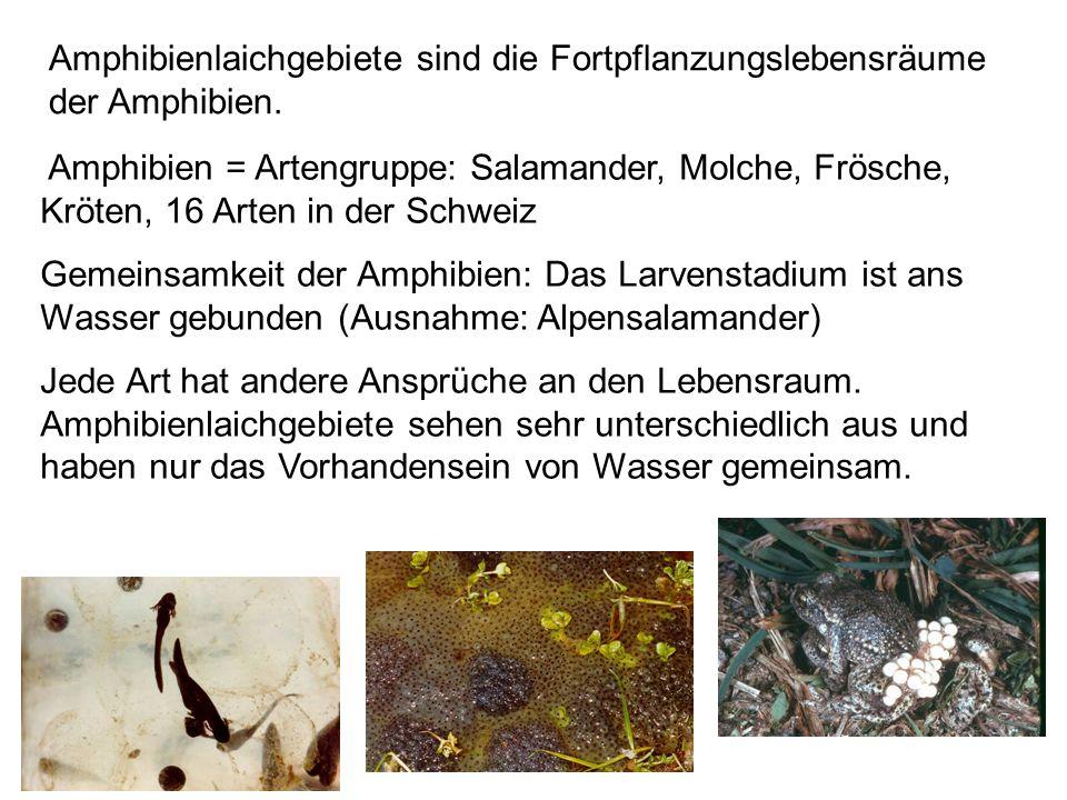 Amphibien = Artengruppe: Salamander, Molche, Frösche, Kröten, 16 Arten in der Schweiz Gemeinsamkeit der Amphibien: Das Larvenstadium ist ans Wasser ge