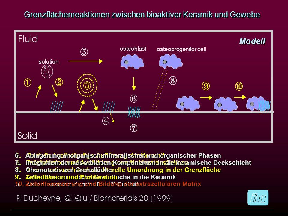 Modell Grenzflächenreaktionen zwischen bioaktiver Keramik und Gewebe 1. Partielle / vollständige Auflösung der Keramik 2. Präzipitation und Ausbildung