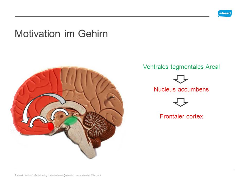 Dopamin Motivation im Gehirn Frontaler cortex Ventrales tegmentales Areal Nucleus accumbens © a-head / Institut für Gehirntraining, katharina.turecek@a-head.at, www.a-head.at, Wien 2013