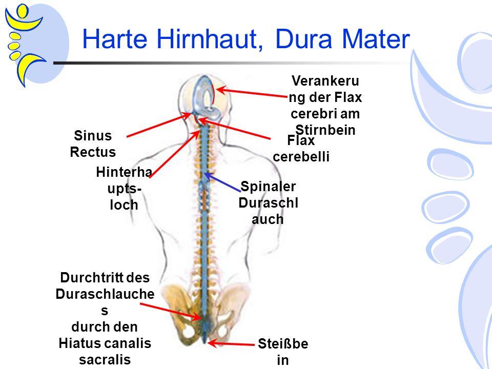 Harte Hirnhaut, Dura Mater Sinus Rectus Verankeru ng der Flax cerebri am Stirnbein Steißbe in Durchtritt des Duraschlauche s durch den Hiatus canalis