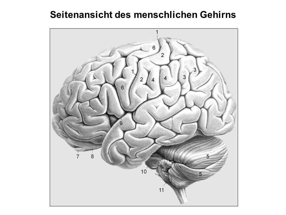 Seitenansicht des menschlichen Gehirns