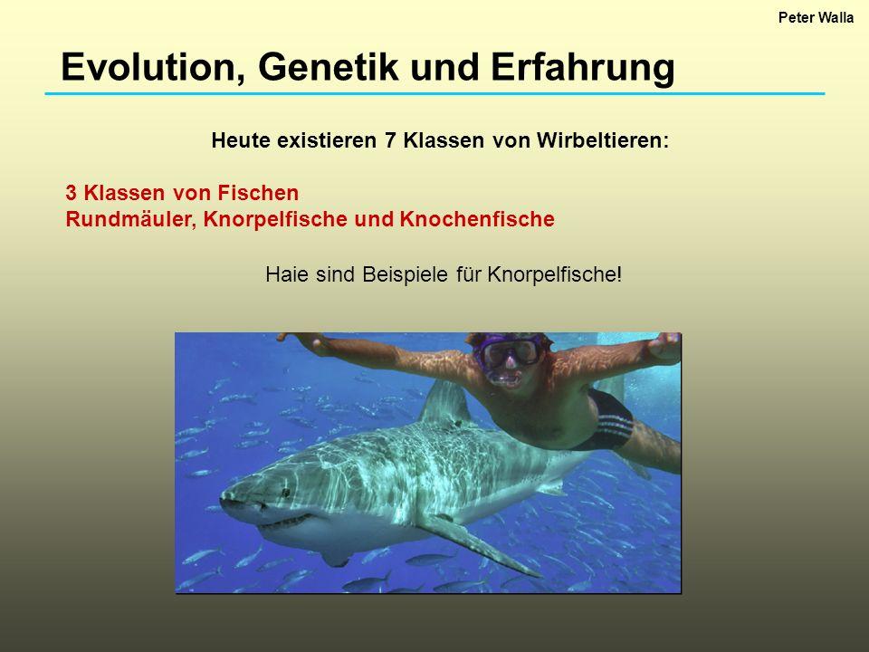Evolution, Genetik und Erfahrung Heute existieren 7 Klassen von Wirbeltieren: 3 Klassen von Fischen Rundmäuler, Knorpelfische und Knochenfische Haie s