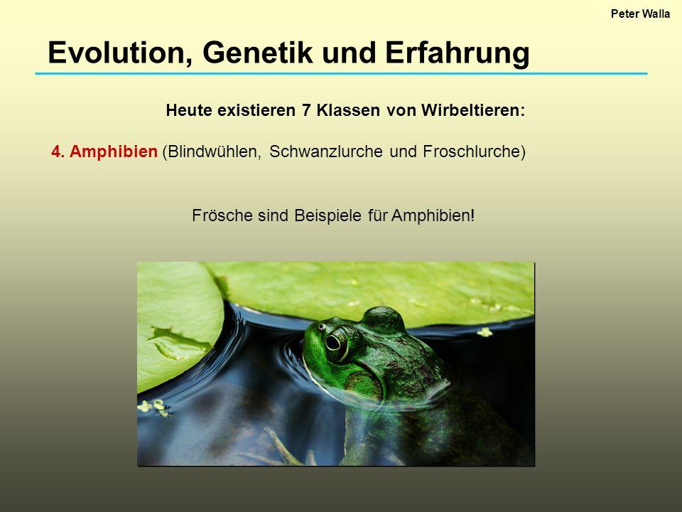 Evolution, Genetik und Erfahrung Heute existieren 7 Klassen von Wirbeltieren: 4. Amphibien (Blindwühlen, Schwanzlurche und Froschlurche) Frösche sind