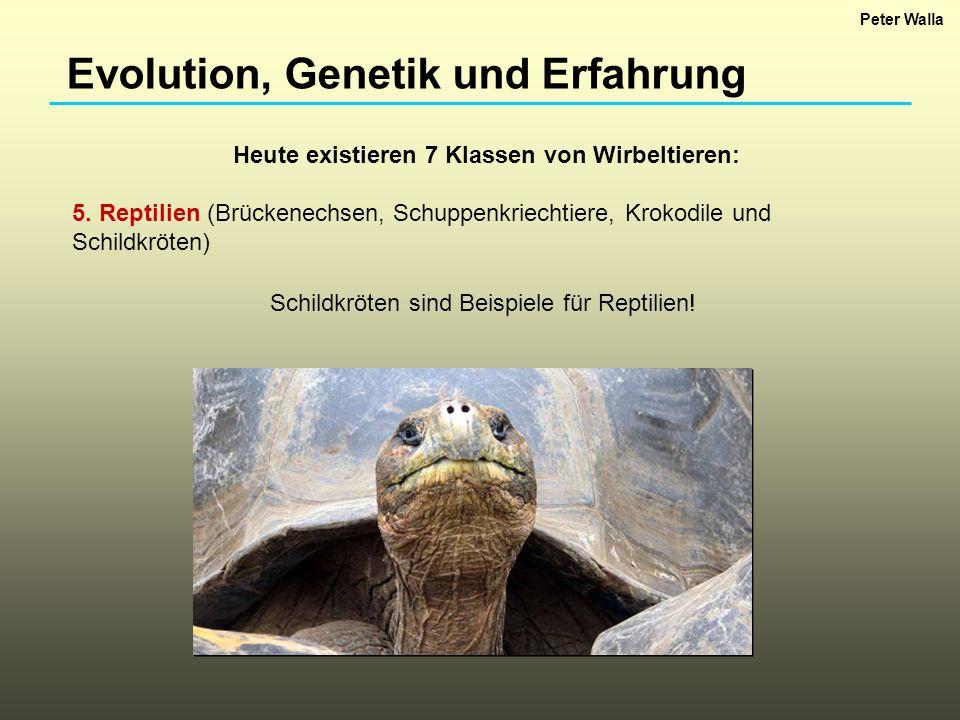 Evolution, Genetik und Erfahrung Heute existieren 7 Klassen von Wirbeltieren: 5. Reptilien (Brückenechsen, Schuppenkriechtiere, Krokodile und Schildkr