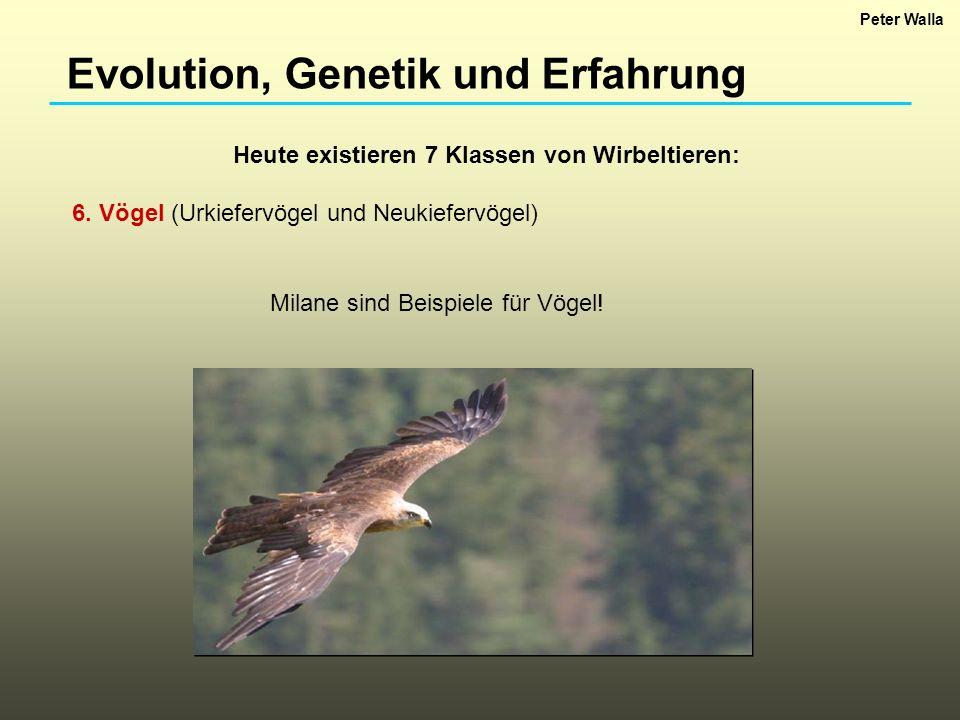 Evolution, Genetik und Erfahrung Heute existieren 7 Klassen von Wirbeltieren: 6. Vögel (Urkiefervögel und Neukiefervögel) Milane sind Beispiele für Vö
