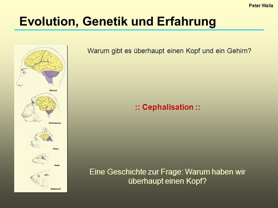 Evolution, Genetik und Erfahrung :: Cephalisation :: Eine Geschichte zur Frage: Warum haben wir überhaupt einen Kopf? Warum gibt es überhaupt einen Ko