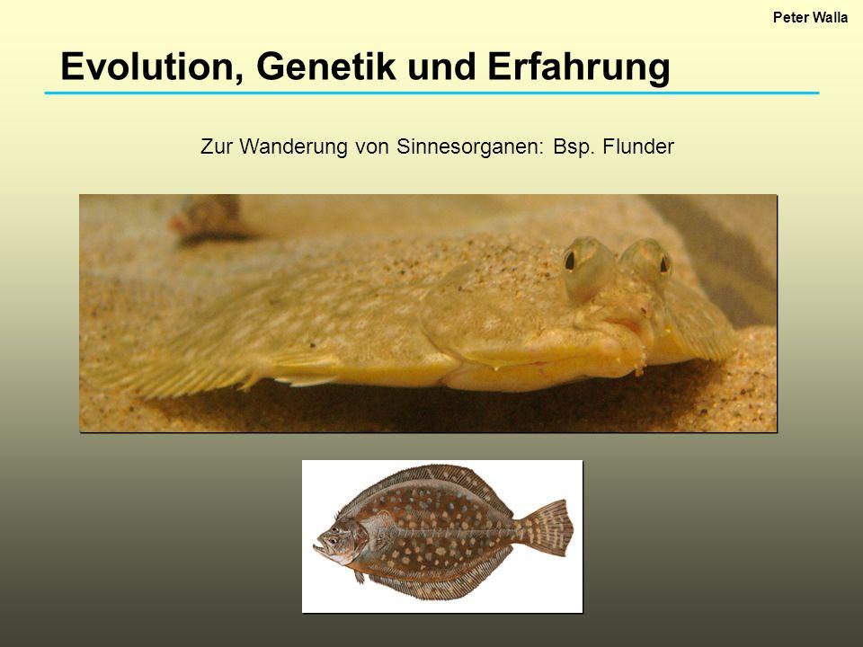 Evolution, Genetik und Erfahrung Zur Wanderung von Sinnesorganen: Bsp. Flunder Peter Walla