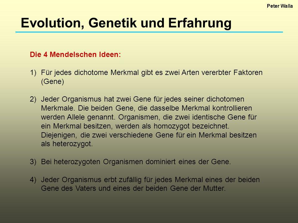 Evolution, Genetik und Erfahrung Die 4 Mendelschen Ideen: 1)Für jedes dichotome Merkmal gibt es zwei Arten vererbter Faktoren (Gene) 2)Jeder Organismu