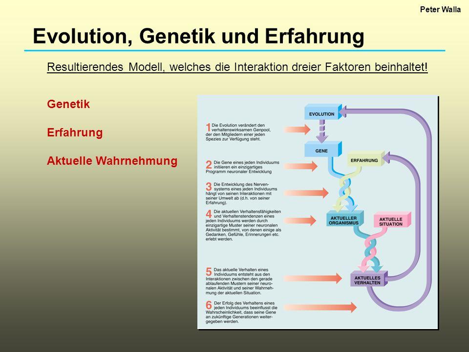 Evolution, Genetik und Erfahrung Resultierendes Modell, welches die Interaktion dreier Faktoren beinhaltet! Genetik Erfahrung Aktuelle Wahrnehmung Pet