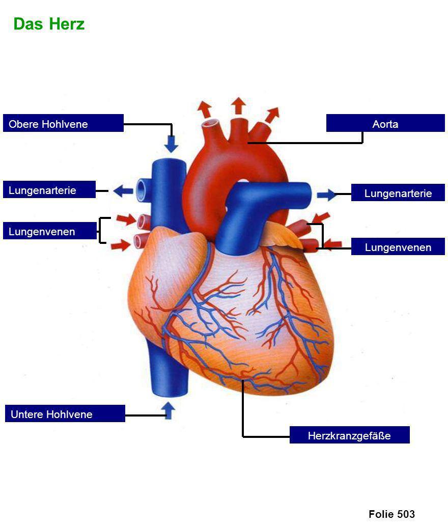 Das Herz Folie 503 Lungenarterie Obere Hohlvene Lungenvenen Untere Hohlvene Herzkranzgefäße Aorta Lungenvenen Lungenarterie