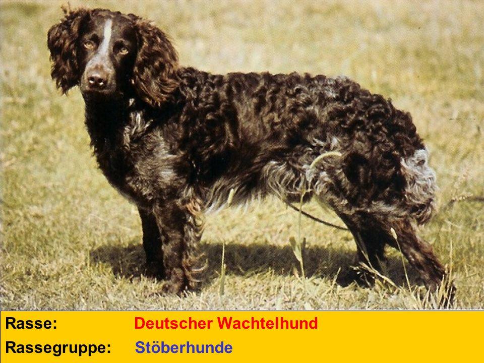 Rasse: Rassegruppe: Deutscher Wachtelhund Stöberhunde
