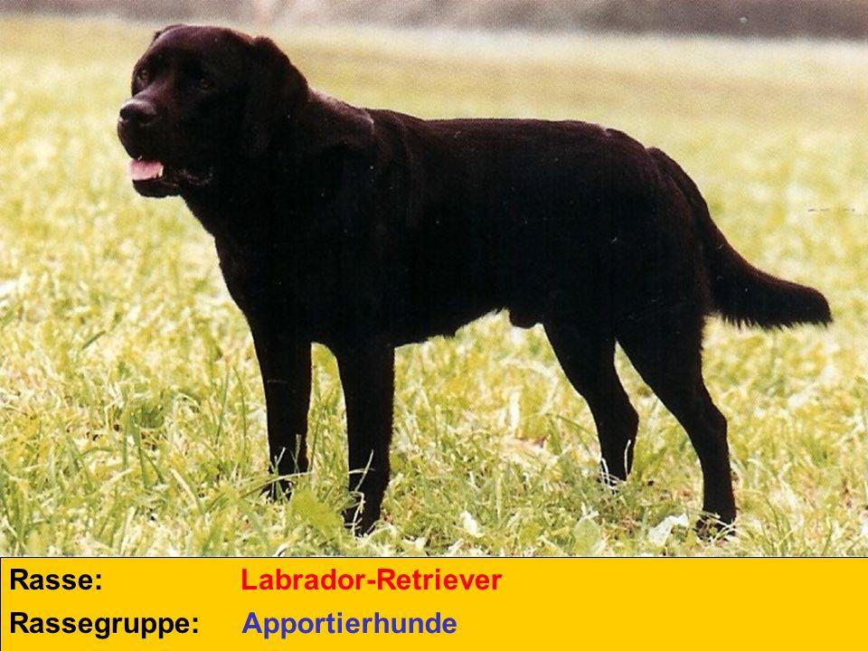 Rasse: Rassegruppe: Labrador-Retriever Apportierhunde