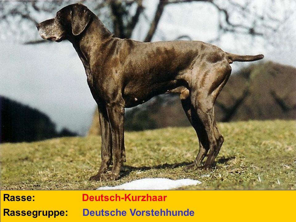 Rasse: Rassegruppe: Deutsch-Kurzhaar Deutsche Vorstehhunde