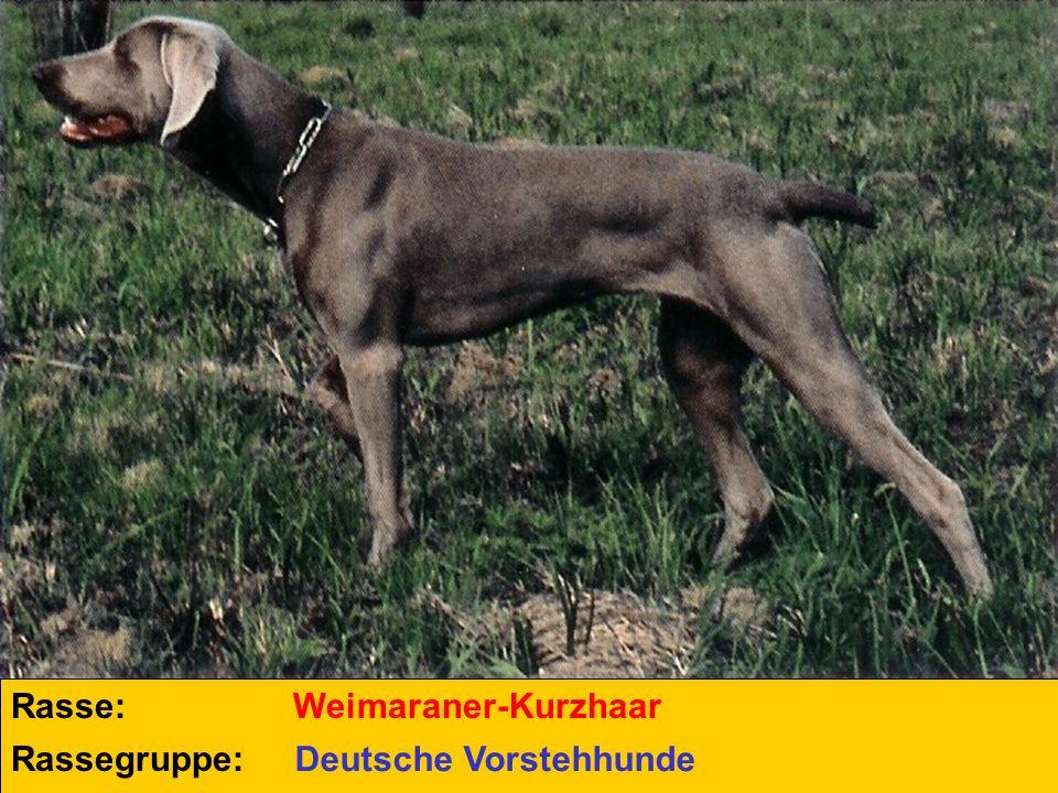 Rasse: Rassegruppe: Weimaraner-Kurzhaar Deutsche Vorstehhunde
