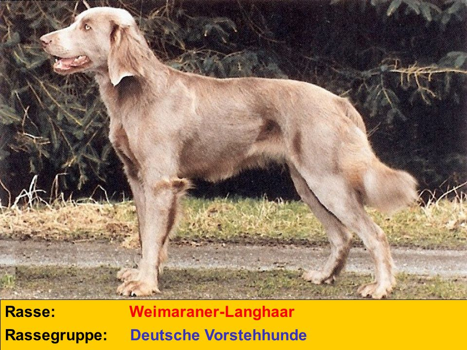 Rasse: Rassegruppe: Weimaraner-Langhaar Deutsche Vorstehhunde