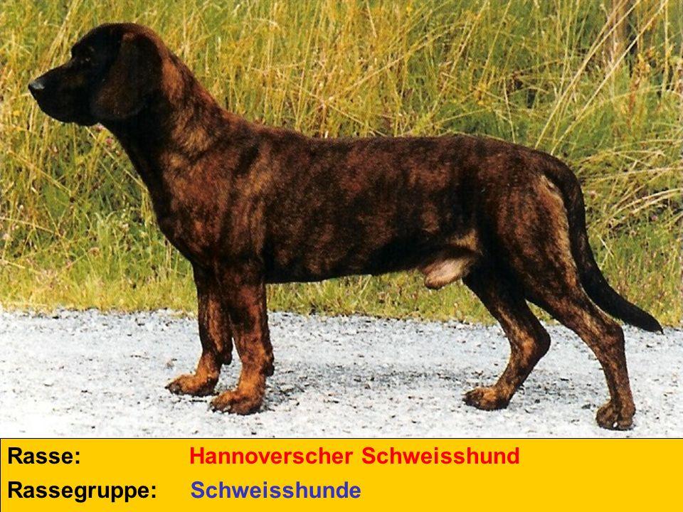 Rasse: Rassegruppe: Hannoverscher Schweisshund Schweisshunde